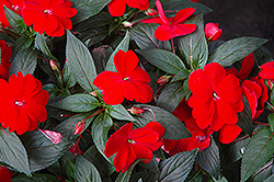 Super Sonic Red New Guinea Impatiens (Impatiens hawkeri 'Super Sonic Red') at Landsburg Landscape Nursery