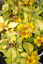 Walkabout Sunset Loosestrife (Lysimachia congestiflora 'Walkabout Sunset') at Landsburg Landscape Nursery