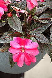 Sonic® Sweet Purple New Guinea Impatiens (Impatiens 'Sonic Sweet Purple') at Landsburg Landscape Nursery