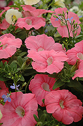 Supertunia® Bermuda Beach Petunia (Petunia 'Supertunia Bermuda Beach') at Landsburg Landscape Nursery