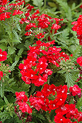 Obsession Red Verbena (Verbena 'Obsession Red') at Landsburg Landscape Nursery