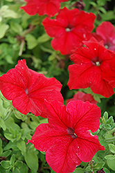 Super Cascade Red Petunia (Petunia 'Super Cascade Red') at Landsburg Landscape Nursery