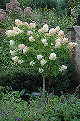 Limelight Hydrangea (tree form) (Hydrangea paniculata 'Limelight (tree form)') at Landsburg Landscape Nursery