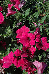 Supertunia Vista® Fuchsia Petunia (Petunia 'Supertunia Vista Fuchsia') at Landsburg Landscape Nursery