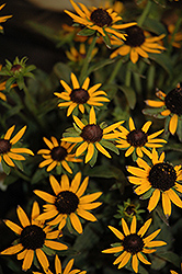 Little Goldstar Coneflower (Rudbeckia fulgida 'Little Goldstar') at Landsburg Landscape Nursery