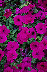Wave Purple Petunia (Petunia 'Wave Purple') at Landsburg Landscape Nursery