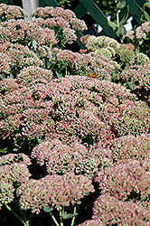 Autumn Fire Stonecrop (Sedum spectabile 'Autumn Fire') at Landsburg Landscape Nursery