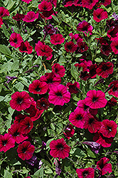 Shock Wave Deep Purple Petunia (Petunia 'Shock Wave Deep Purple') at Landsburg Landscape Nursery