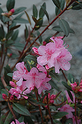Aglo Rhododendron (Rhododendron 'Aglo') at Landsburg Landscape Nursery