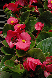 Super Olympia Rose Begonia (Begonia 'Super Olympia Rose') at Landsburg Landscape Nursery