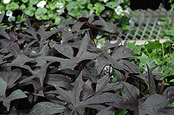 Blackie Sweet Potato Vine (Ipomoea batatas 'Blackie') at Landsburg Landscape Nursery