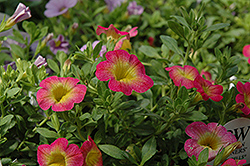 Superbells® Sweet Tart Calibrachoa (Calibrachoa 'Superbells Sweet Tart') at Landsburg Landscape Nursery