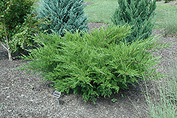 Sea Green Juniper (Juniperus chinensis 'Sea Green') at Landsburg Landscape Nursery