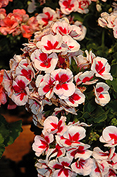 Americana® White Splash Geranium (Pelargonium 'Americana White Splash') at Landsburg Landscape Nursery