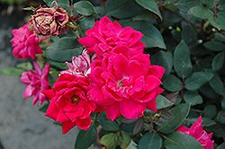 Red Double Knock Out Rose (Rosa 'Red Double Knock Out') at Landsburg Landscape Nursery