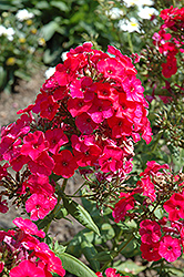 Red Flame Garden Phlox (Phlox paniculata 'Red Flame') at Landsburg Landscape Nursery