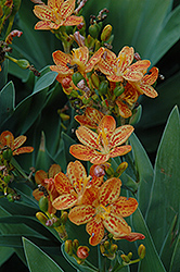 Freckle Face Blackberry Lily (Belamcanda chinensis 'Freckle Face') at Landsburg Landscape Nursery