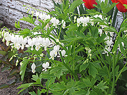 White Bleeding Heart (Dicentra spectabilis 'Alba') at Landsburg Landscape Nursery