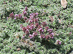 Wooly Thyme (Thymus pseudolanuginosis) at Landsburg Landscape Nursery