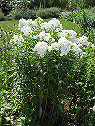 David Garden Phlox (Phlox paniculata 'David') at Landsburg Landscape Nursery