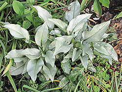 Silver Bouquet Lungwort (Pulmonaria 'Silver Bouquet') at Landsburg Landscape Nursery