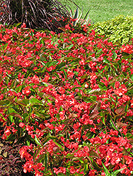 Dragon Wing Red Begonia (Begonia 'Dragon Wing Red') at Landsburg Landscape Nursery
