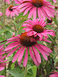 Ruby Star™ Coneflower (Echinacea purpurea 'Rubinstern') at Landsburg Landscape Nursery