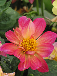 Dahlinova Hypnotica® Tropical Breeze Dahlia (Dahlia 'Hypnotica Tropical Breeze') at Landsburg Landscape Nursery