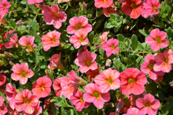 Superbells® Tropical Sunrise Calibrachoa (Calibrachoa 'INCALTRSUN') at Landsburg Landscape Nursery