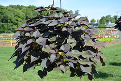 Sidekick™ Black Heart Sweet Potato Vine (Ipomoea batatas 'Sidekick Black Heart') at Landsburg Landscape Nursery