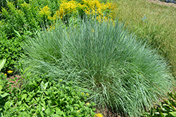 Prairie Blues Bluestem (Schizachyrium scoparium 'Prairie Blues') at Landsburg Landscape Nursery