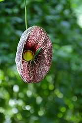Dutchman's Pipe (Aristolochia macrophylla) at Landsburg Landscape Nursery