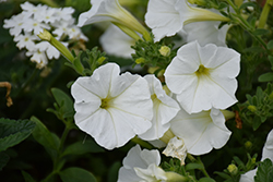 Supertunia® White Petunia (Petunia 'Supertunia White') at Landsburg Landscape Nursery