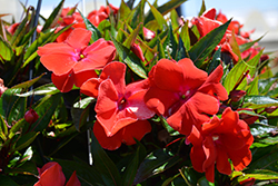 Magnum Red Flame New Guinea Impatiens (Impatiens 'Magnum Red Flame') at Landsburg Landscape Nursery