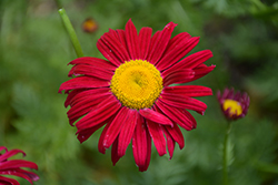 Robinson's Red Painted Daisy (Tanacetum coccineum 'Robinson's Red') at Landsburg Landscape Nursery