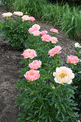 Coral Sunset Peony (Paeonia 'Coral Sunset') at Landsburg Landscape Nursery