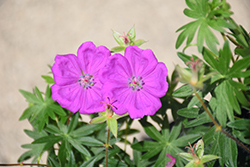 New Hampshire Purple Cranesbill (Geranium sanguineum 'New Hampshire Purple') at Landsburg Landscape Nursery