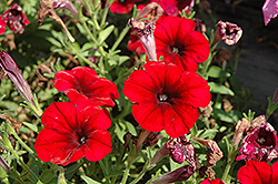 Crazytunia® Red Blues Petunia (Petunia 'Crazytunia Red Blues') at Landsburg Landscape Nursery