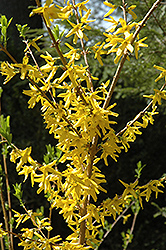 Meadowlark Forsythia (Forsythia 'Meadowlark') at Landsburg Landscape Nursery