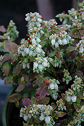 Jelly Bean® Blueberry (Vaccinium 'ZF06-179') at Landsburg Landscape Nursery
