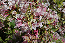 Rainbow Sensation® Weigela (Weigela florida 'Kolmagira') at Landsburg Landscape Nursery