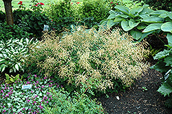 Misty Lace Goatsbeard (Aruncus 'Misty Lace') at Landsburg Landscape Nursery