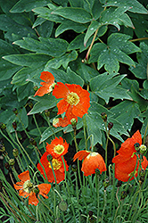 Summer Breeze Orange Poppy (Papaver 'Summer Breeze Orange') at Landsburg Landscape Nursery