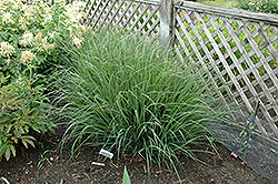 Indian Warrior Bluestem (Andropogon girardii 'Indian Warrior') at Landsburg Landscape Nursery