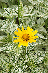Sunburst False Sunflower (Heliopsis helianthoides 'Sunburst') at Landsburg Landscape Nursery