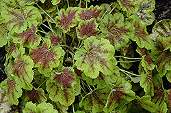 Solar Eclipse Foamy Bells (Heucherella 'Solar Eclipse') at Landsburg Landscape Nursery
