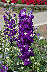Purple Passion Larkspur (Delphinium 'Purple Passion') at Landsburg Landscape Nursery