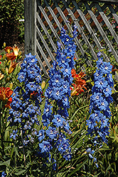 Cobalt Dreams Larkspur (Delphinium 'Cobalt Dreams') at Landsburg Landscape Nursery