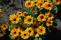 TigerEye Coneflower (Rudbeckia 'TigerEye') at Landsburg Landscape Nursery