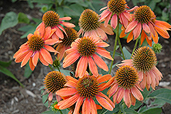 Sombrero® Adobe Orange Coneflower (Echinacea 'Balsomador') at Landsburg Landscape Nursery